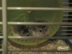 Thumbnail of Hamster Fight