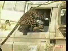 Thumbnail of How not to release a leopard