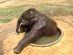 Thumbnail of Baby elephant playing in the water